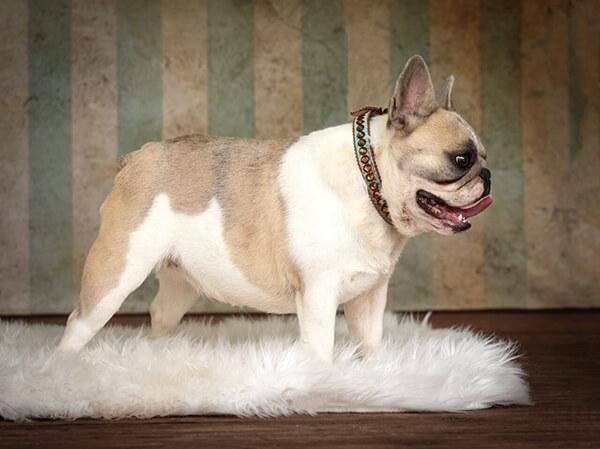 Mini french bulldog puppies for sale