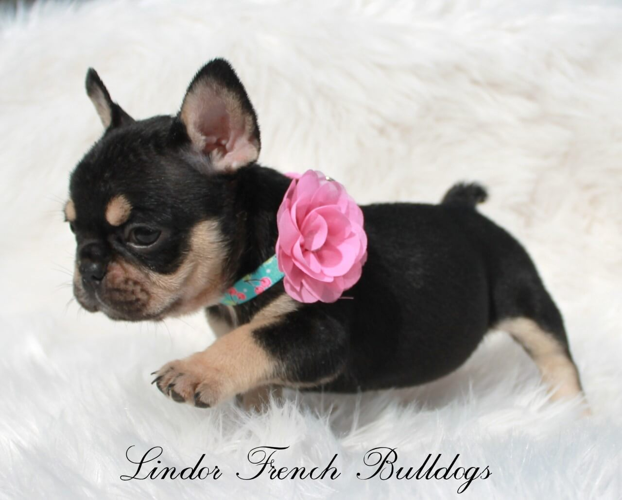Maskless black and tan french bulldog puppy