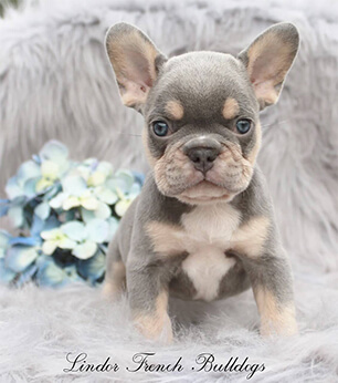 lilac and tan french bulldog puppy