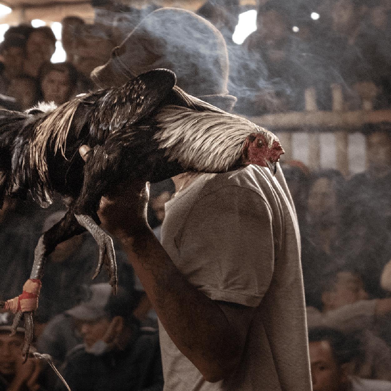 Riña de gallos (o de cómo una feminista se infiltró en la cultura de la dominación)