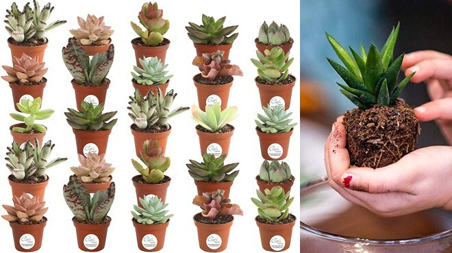 Live Succulents 25-Pack ONLY $29 + FREE Shipping at Amazon! Just $1.17 Each!