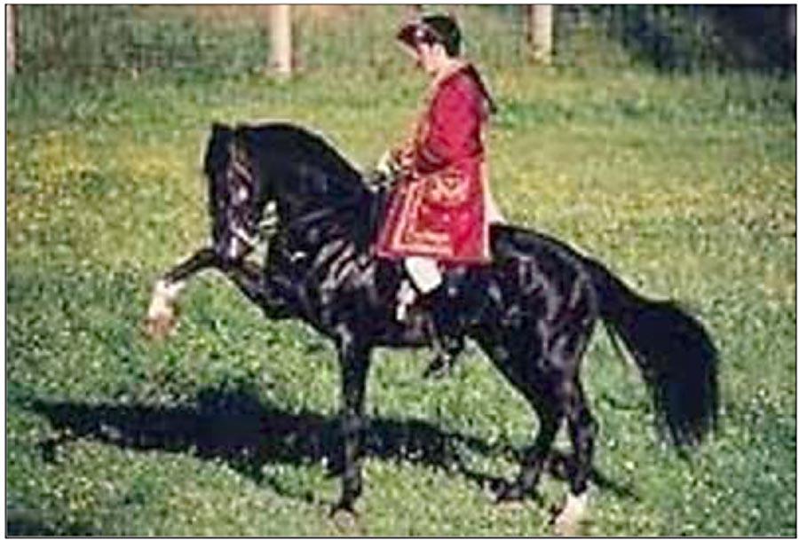 Horseville Horse For Stud - Imported Versatile Stallion - Ad 279