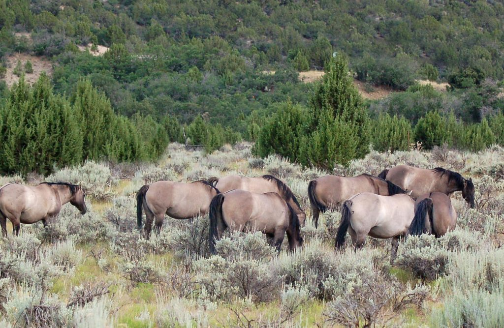 Grullo Quarter Horses