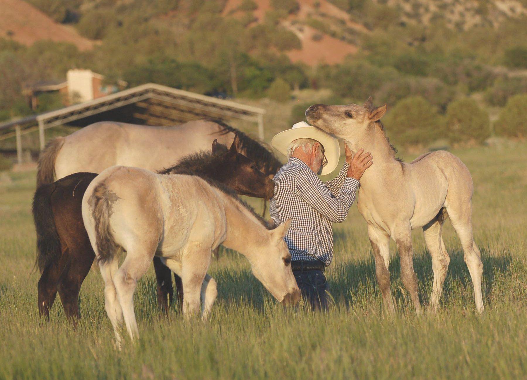 Ameritano foals