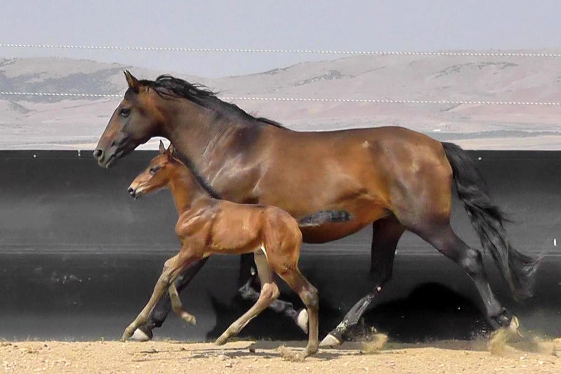 Victoria Mor with Lusitano colt by Halconero