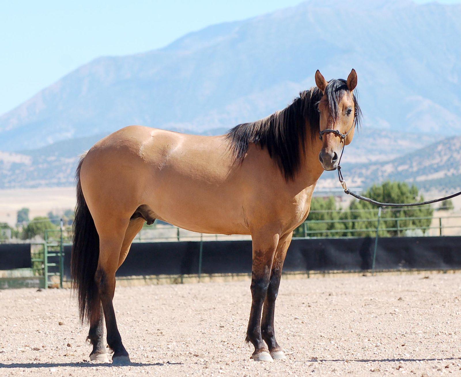 Ameritano 2016 stallion