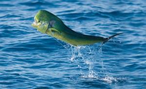 Dolphin Jumping keys fish