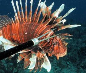 Lionfish Florida Keys Divers