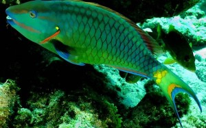 Green Parrot Fish