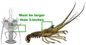 Spiny Lobster Sport Season
