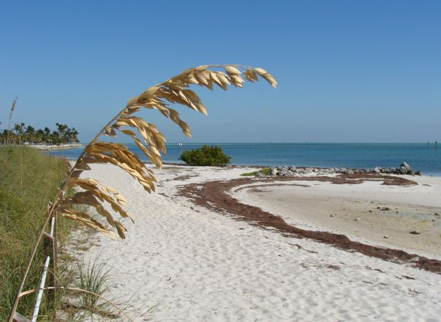 Sea oat at Curry Hammock State Park beach. Florida Keys State Parks