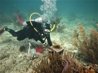 Scuba diver on a coral reef with tools to measure Elkhorn Coral