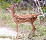 Lower Florida Keys Key Deer Fawn