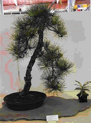 Best of Show and First Place, Needled Evergreen Class - 2008 Iowa State Fair, Pitch Pine, Helene Magruder