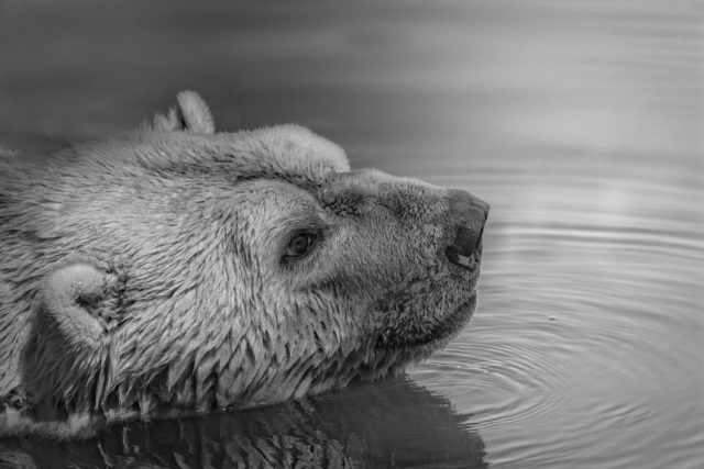 A bear thinking deep about WebVR and Google Daydream. Photo by: Mali Maeder / Pexels.com