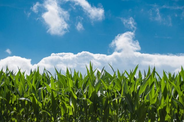 A crop of corn with clouds. Photo by: Pexels.com