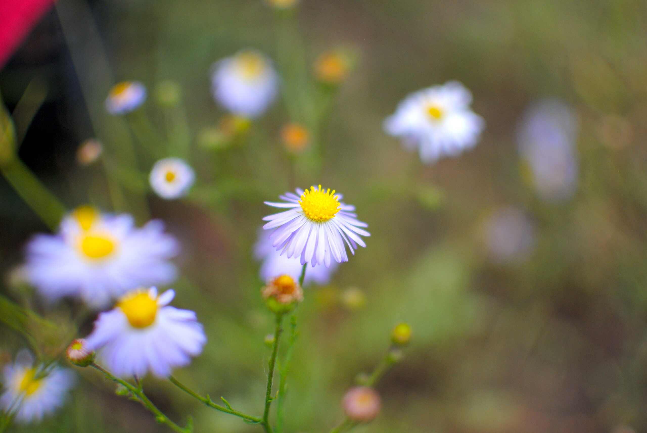 Wildflowers are scattered throughout the festival grounds and car camping area. Photo by: Marissa Novel.