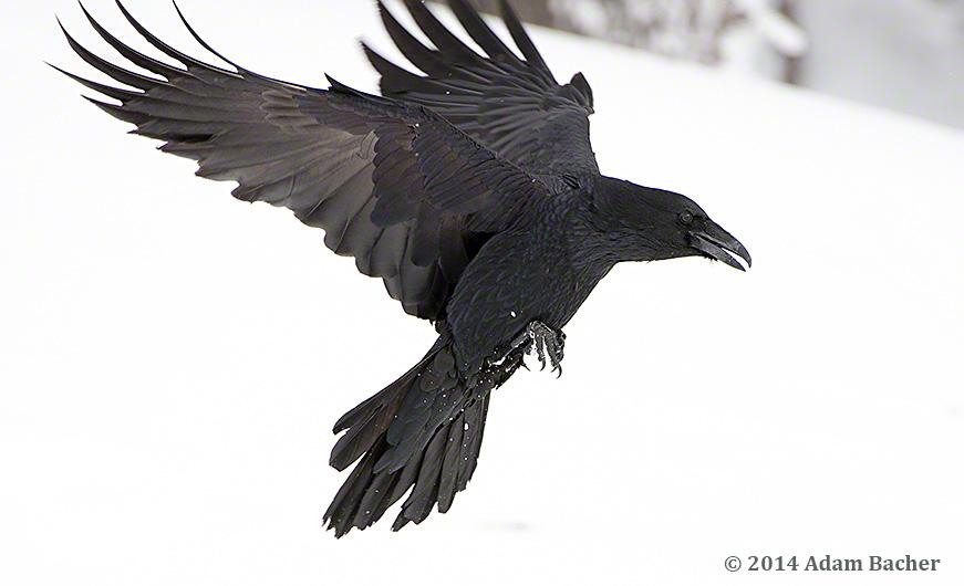 Raven flying in winter