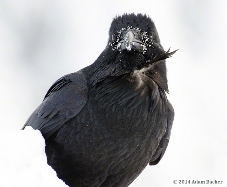 Raven looking in camera with snow on face