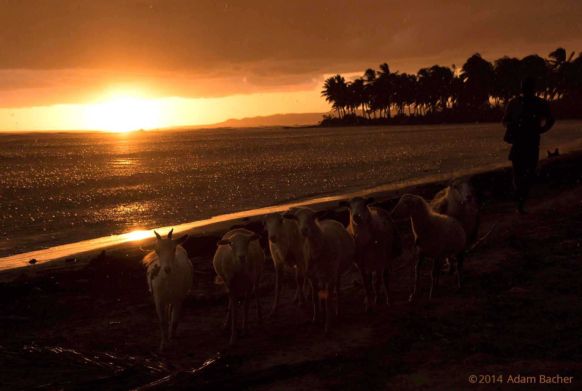 Sheep at Sunset – Adventures in Photography