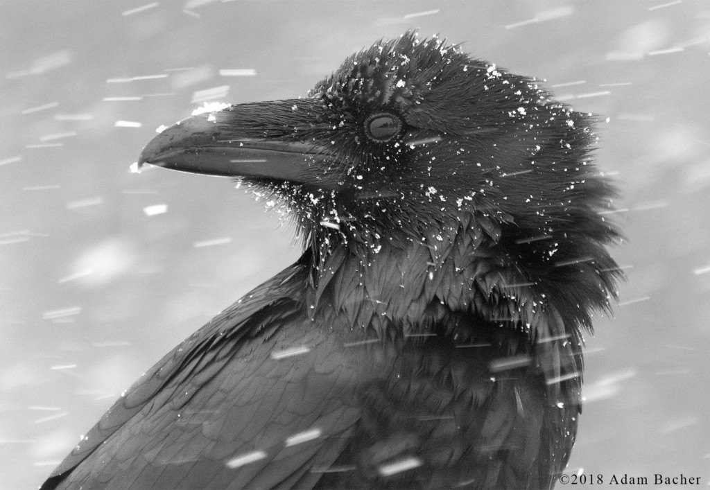 Head Shot of Raven in the Winter