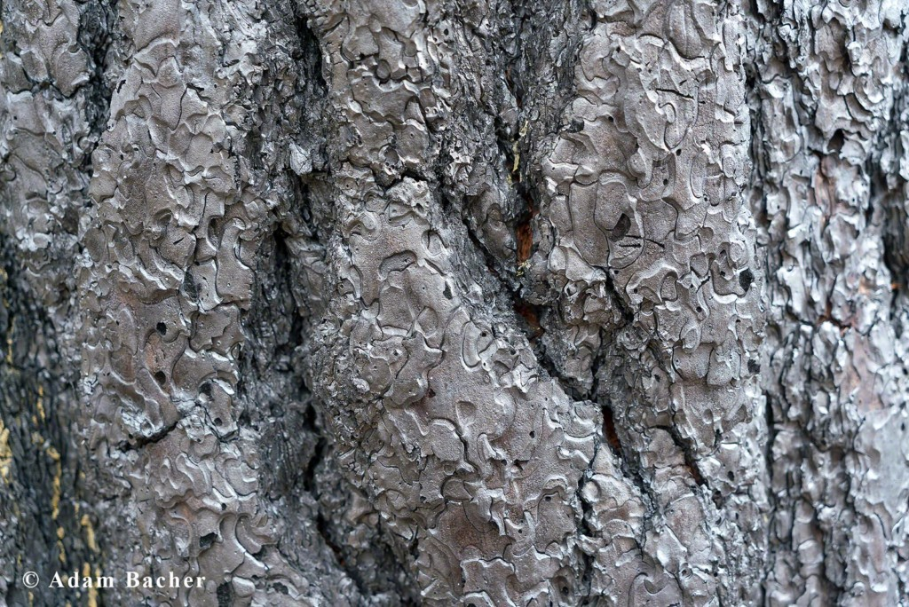 Paul Hessburg, forest fire burnt tree bark