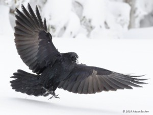 raven with wings spread - your majesty