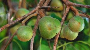 Kukui Nuts