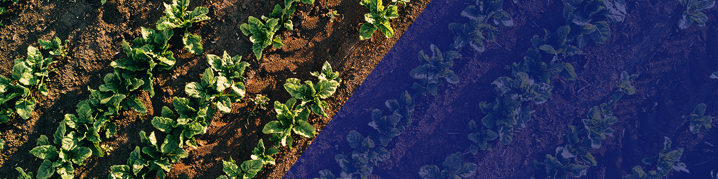 Arial view sugar beet crops