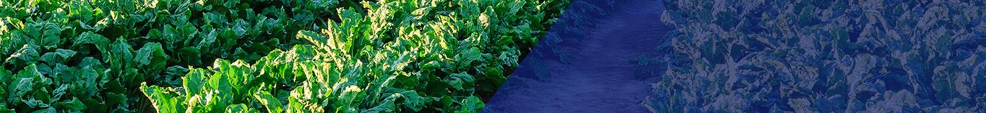 Field of sugar beet leaves