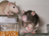Rats and mice removal in Prattville, AL