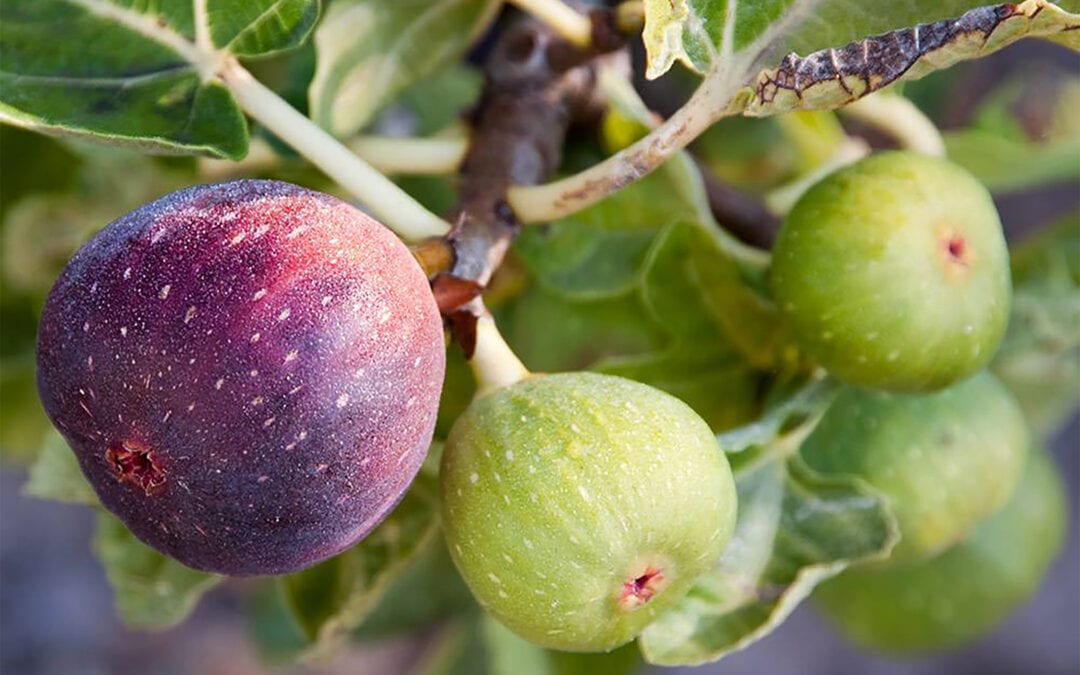 Growing Figs in the Pacific Northwest
