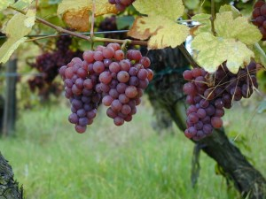 Growing Grapes in the Pacific Northwest