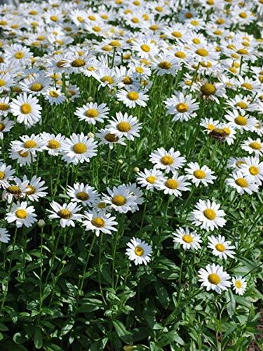 Shasta Daisy-Leucanthemum Perennial Flowers