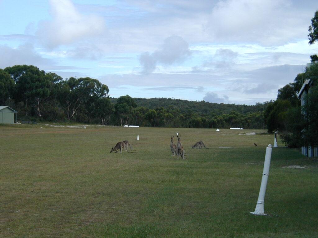 Eastern Grey Kangaroos looking towards the Runway 33 threshold