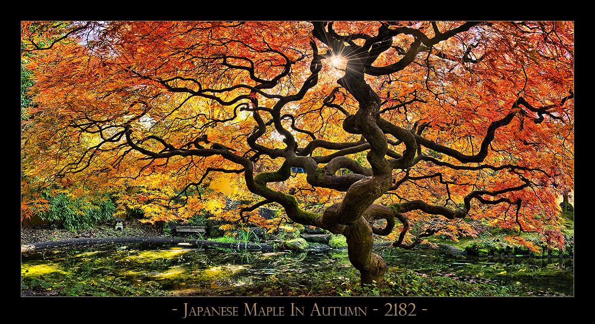 Japanese-Maple---2182