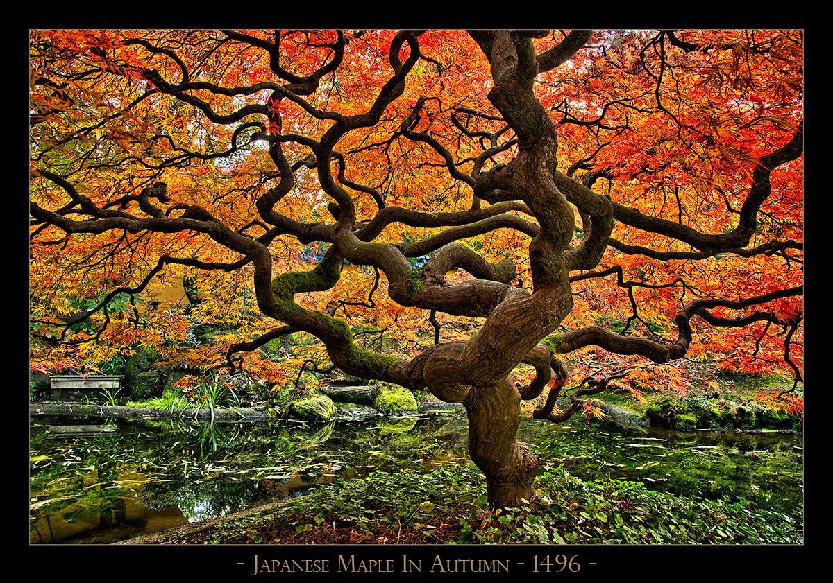 Japanese-Maple-In-Autumn---1496