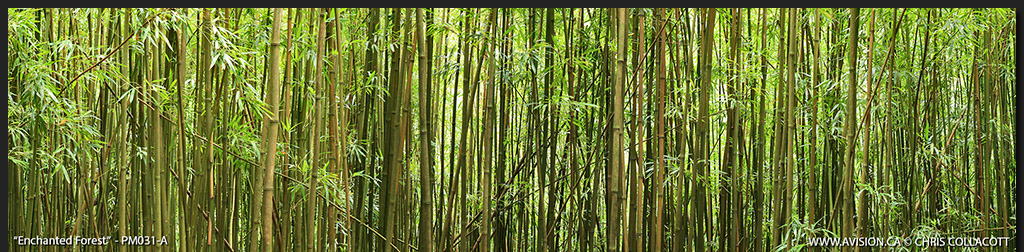 PM031-Young-Bamboo-maui-hawaii-forest-Panoramic-Panorama-Chris-Collacott-avision.ca