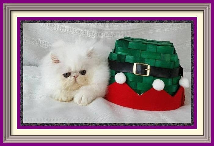 Previous Kittens Purrtopia Persian Amp Exotics