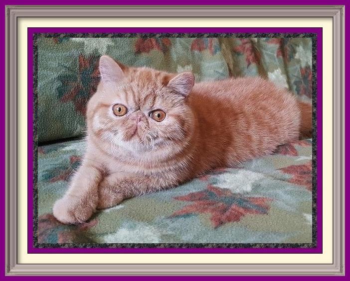 Exotic Longhair cat breeder in Alabama, Exotic Longhair cat breeder in AL, Exotic Longhair cat breeder in Alaska, AK, Exotic Longhair cat breeder in Arizona, AZ, Exotic Longhair cat breeder in Arkansas, AR, Exotic Longhair cat breeder in California, CA, Exotic Longhair cat breeder in Colorado, CO, Exotic Longhair cat breeder in Connecticut, CT, Exotic Longhair cat breeder in District of Columbia, DC, Exotic Longhair cat breeder in Delaware, DE, Exotic Longhair cat breeder in Florida, FL, Exotic Longhair cat breeder in Georgia, GA, Exotic Longhair cat breeder in Hawaii, HI, Exotic Longhair cat breeder in Idaho, ID, Exotic Longhair cat breeder in Illinois, IL, Exotic Longhair cat breeder in Indiana, IN, Exotic Longhair cat breeder in Iowa, IA, Exotic Longhair cat breeder in Kansas, KS, Exotic Longhair cat breeder in Kentucky, KY, Exotic Longhair cat breeder in Louisiana, LA, Exotic Longhair cat breeder in Maine, ME, Exotic Longhair cat breeder in Maryland, MD, Exotic Longhair cat breeder in Massachusetts, MA, Exotic Longhair cat breeder in Michigan, MI, Exotic Longhair cat breeder in Minnesota, MN, Exotic Longhair cat breeder in Mississippi, MS, Exotic Longhair cat breeder in Missouri, MO, Exotic Longhair cat breeder in Montana, MT, Exotic Longhair cat breeder in Nebraska, NE, Exotic Longhair cat breeder in Nevada, NV, Exotic Longhair cat breeder in New Hampshire, NH, Exotic Longhair cat breeder in New Jersey, NJ, Exotic Longhair cat breeder in New Mexico, NM, Exotic Longhair cat breeder in New York, NY, Exotic Longhair cat breeder in North Carolina, NC, Exotic Longhair cat breeder in North Dakota, ND, Exotic Longhair cat breeder in Ohio, OH, Exotic Longhair cat breeder in Oklahoma, OK, Exotic Longhair cat breeder in Oregon, OR, Exotic Longhair cat breeder in Pennsylvania, PA, Exotic Longhair cat breeder in Puerto Rico, PR, Exotic Longhair cat breeder in Rhode Island, RI, Exotic Longhair cat breeder in South Carolina, SC, Exotic Longhair cat breeder in South Dakota, S