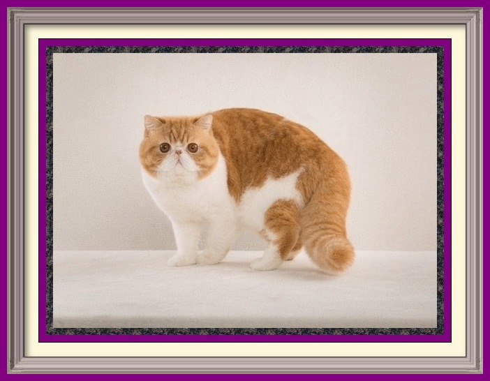 list of cat breeds, list of cat breeders, cat breeder locator, breeders list, list, listing Groomer's Goop, degrease a cat, Goop by Goop Hand Cleaner, goop, wash cat, cat baths, oily cat coat, dog coat, grooming tips, grooming products, cats, kittens, for sale, cat, cats, catteries, kitten, kittens, pedigreed, pedigree, purebred, purebread, adoption, pet products, dog, cat grooming products, toys, Persian, Ragdoll, Siamese, Tonkinese, Maine Coon, Norwegian Forest Cat, Bengal, Birmese, breeders, groomers, pet sitter, find breeder, cattery, cat breeds, cat breeder list, Alabama, Alaska, Arizona, Arkansas, California, Colorado, Connecticut, Delaware, Florida, Georgia, Hawaii, Idaho, Illinois, Indiana, Iowa, Kansas, Kentucky, Louisiana, Maine, Maryland, Massachusetts, Michigan, Minnesota, Mississippi, Missouri, Montana, Nebraska, Nevada, New Hampshire, New Jersey, New Mexico, New York, North Carolina, North Dakota, Ohio, Oklahoma, Oregon, Pennsylvania, Rhode Island, South Carolina, South Dakota, Tennessee, Texas, Utah, Vermont, Virginia, Washington, Washington DC, West Virginia, Wisconsin, Wyoming, PEDIGREED CATS, SHOW CATS, PUREBRED CATS, PUREBREED, PUREBRED, CFA, CFA CATS, CFA REGISTERED CATS, CFA PERSIAN, PEDIGREED KITTENS, PEDIGREED KITTIES, COLORPOINT SHORTHAIRS, CORNISH REX, DEVON REX, REX, EGYPTIAN, EXOTIC SHORTHAIRS, EXOTIC SH, HAVANA BROWNS, HAVANAS,HIMALAYANS, HIMILAYANS, HIMILAYANS, HIMILAYANS, JAPANESE BOBTAILS, KORATS, LAPERMS, LAPERMS, LAPERM, MAIN COON, MAINE COONS, Main Coones, MAIN COONS, COON CAT, COON CATS, CYMRICS, MUNCHKINS, NORWEGIAN FOREST CATS, WEGIES, OCICATS, ORIENTAL LONGHAIRS, ORIENTAL SHORTHAIRS, PERSIANS, KASHMIRS, PIXIE BOBS, PIXIEBOBS, RAGAMUFFINS, RAGDOLLS, RAG DOLLS, RUSSIAN BLUES,TRADITIONAL SIAMESE, APPLEHEAD SIAMESE, OLD-FASHIONED SIAMESE, SIBERIANS, SINGAPURAS, SNOWSHOES, SPHYNX, SACRED CAT OF BURMA, TONKINESE, TONKS, TURKISH TURKISH ANGORAS, TURKISH VANS, CHOCOLATES