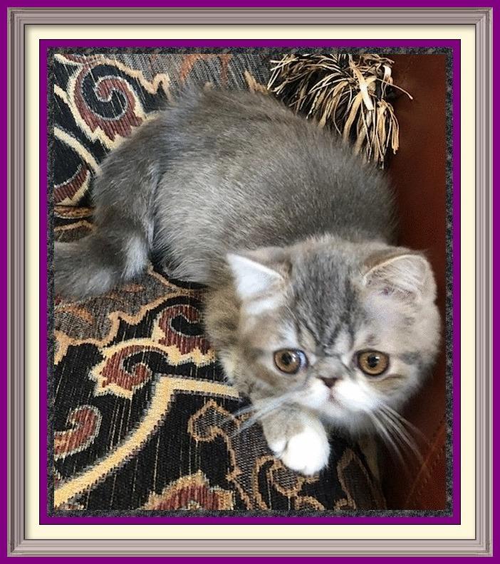 chinchilla kittens for sale, british cinnamon kitten, exotic cat price, cheshire cat breed, american shorthair breeders, exotic shorthair, british shorthair silver tabby kitten, exotic shorthair stuffed animal, siamese kittens for sale craigslist, extoic cats, exotic shorthair red tabby, british blue hair cat, english kittens for sale, exotic shorthair kitty, exotic shorthair munchkin for sale, gray british shorthair, brown british shorthair kittens for sale, british shorthair red, most exotic cat breeds, domestic shorthair cat breeds, exotic longhair Persian, tonkinese cat breeds, cream british shorthair cat, short cat breeds, british shorthair kitten care, female british shorthair cat, gray british shorthair kittens, silver shorthair kittens for sale, long haired persian kitten, british shorthair health problems, siamese mix kittens for sale, exptic shorthair kitten, ginger british shorthair cat, british shorthair care, british blue shorthair cat temperament, exotic shorthair silver tabby, pedigree british shorthair, ragdoll kittens for sale in Wisconsin, british shorthair striped, purebred exotic shorthair kittens, british shorthair behavior, british shorthair cat information, golden british shorthair for sale, exotic cat names, white siamese kittens for sale, british shorthair shed, large exotic cats, british cat buy, blue tortie british shorthair, british shorthair coat, british exotic shorthair cat, british blue shorthair cats for adoption, british blue tabby, munchkin cat breeds, british shorthair cat kittens, persian cat kitten for sale, british shorthair kitty, price of exotic shorthair cat, exzotic cats, exotic shorthair information, exotic himalayan cat, british shorthair kittens nyc, silver exotic shorthair, best brush for british shorthair cat, british blue kitten price, british shorthair house cat, short haired himalayan kittens for sale, siamese kittens for sale Illinois, british colourpoint cat, british longhair kittens price, english shorthair cat p