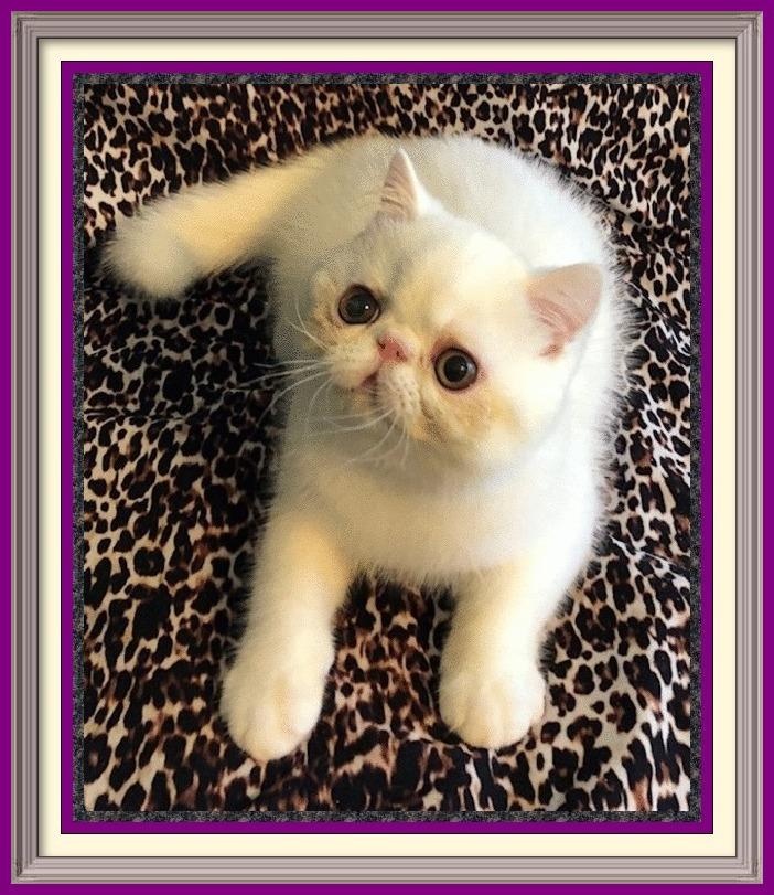 british longhair kittens for sale, british shorthair cat rescue, exotic shorthair persian for sale, exotic shorthair cat rescue, short hair kittens, persian cat for sale, british blue for sale, white british shorthair kittens for sale, short hair cats for sale, exotic shorthair cat price, exotic shorthair cat adoption, exotic shorthair kitten breeders, bsh kitten, blue british shorthair for sale, exotic shorthair snoopy, exotic house cats for sale, british shorthair cinnamon kittens for sale, siamese cat for sale, british blue kittens for adoption, british shorthair temperament, where can i buy an exotic shorthair cat, bsh kittens for sale, cat breeds, buy british shorthair kitten, british shorthair personality, british shorthair silver tabby, silver tabby kitten, persian shorthair, british fold cat, siamese kittens for sale, siberian cat breeders, bengal cat breeders, black british shorthair, cats for sale, exotic longhair cat for sale, exotic shorthair persian kittens, maine coon cat breeds, snoopy cat for sale, british shorthair colours, british shorthair cream, british shorthair cinnamon kitten, silver american shorthair kittens for sale, siberian cat for sale, exotic kittens for sale near me, kittens for sale, serval kitten, exotic shorthair buy, bsh cat, exoticshorthair kittens for sale, american shorthair cat price, british longhair kittens, exotic pet cats, short hair persian cat breeders, british shorthair cinnamon, buy exotic cats, british longhair cat, british blue shorthair cat, british shorthair silver, where to buy british shorthair kittens, exotic domestic cats, silver british shorthair kittens for sale, british kitten, exotic shorthair kittens price, ragdoll cat breeds, sphynx cat breeders, british fold kittens for sale, where to buy exotic shorthair cat, persian cat breeds, exoctic shorthair kittens, english blue kitten, british shorthair kitten breeders, exoctic shorthair kittens for sale, where can i buy a british shorthair kitten, british blue ca