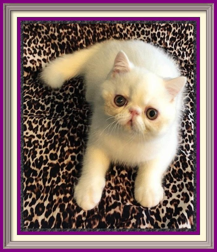 exotic shorthair cat breeder, british shorthair, exotic shorthair kittens, ragdoll kittens, british shorthair kitten, exotic shorthair kittens for sale, british shorthair kittens for sale, exotic cats for sale, bengal kittens, british shorthair for sale, british blue cat, british shorthair cat, exotic shorthair cat for sale, british shorthair cat for sale, british blue kittens for sale, exotic shorthair breeders, british shorthair breeders, exotic kittens, british blue kittens, exotic shorthair kittens for sale near me, exotic shorthair for sale, exotic kittens for sale, american shorthair kittens for sale, british blue, exotic shorthair cat, british blue cat for sale, exotic cats, british shorthair blue, exotic cat breeds, exotic shorthair kittens for adoption, british shorthair kittens for adoption, short hair persian cat for sale, british shorthair rescue, british shorthair cats for rehoming, shorthair cat, exotic shorthair cattery, british shorthair price, british shorthair kittens available, short hair persian cat, british blue breeders, exotic shorthair persian kittens for sale, exotic Persian, exotic persian kittens, exotic house cats, buy british shorthair, persian breeders, british shorthair lilac, english blue cat, silver tabby kittens for sale, english shorthair cat, scottish fold cat for sale, british shorthair cattery, short hair cat breeds, blue british shorthair kittens for sale, exotic persian kittens for sale, buy exotic shorthair cat, rare cats for sale, british shorthair cat breeds, british shorthair adoption, persian shorthair kitten, british shorthair tabby, short hair kittens for sale, british shorthair white, english shorthair, exotic shorthair rescue, british shorthair kittens for sale near me, british shorthair cat adoption, exotic shorthair adoption, british blue cat rescue, exotic persian cat, exotic shorthair price, british blue cat breeders, british cat, exotic cats for adoption, british cat breeds, exotic shorthair Persian, british cat 