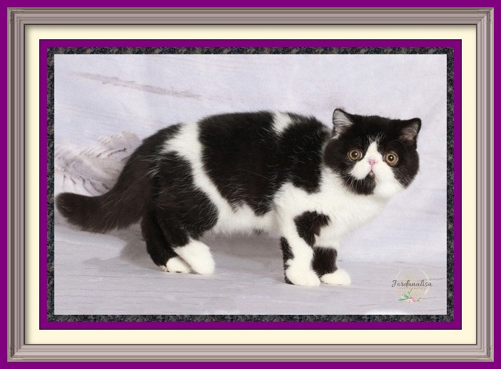 black and white exotic shorthair male dob 04-26-2019-3-framed