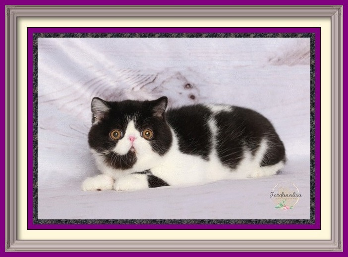 black and white exotic shorthair male dob 04-26-2019-34framed