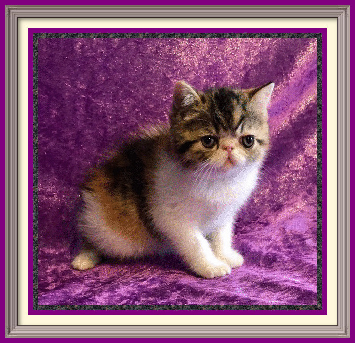 Brown patch tabby and whites female born 08-31-19-framed