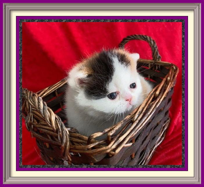 Calico van exotic shorthair female born 01-25-2020-framed