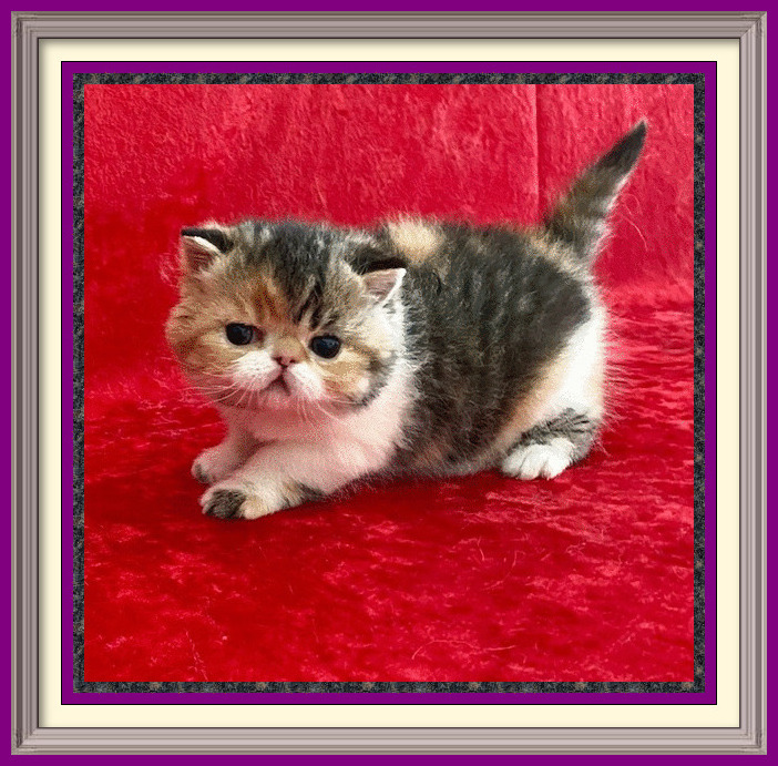 brown patch tabby and white female 01-22-2020-framed