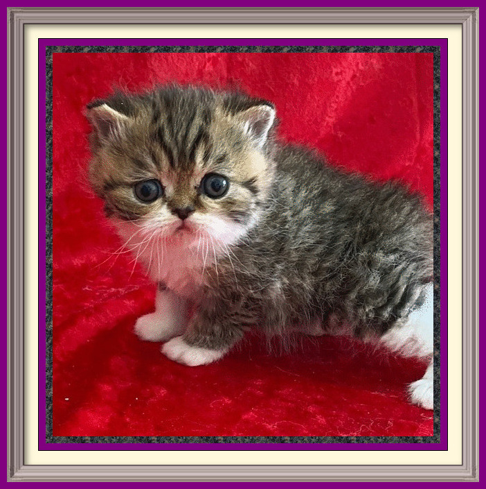 brown tabby and white shorthair male 01-22-2020-framed
